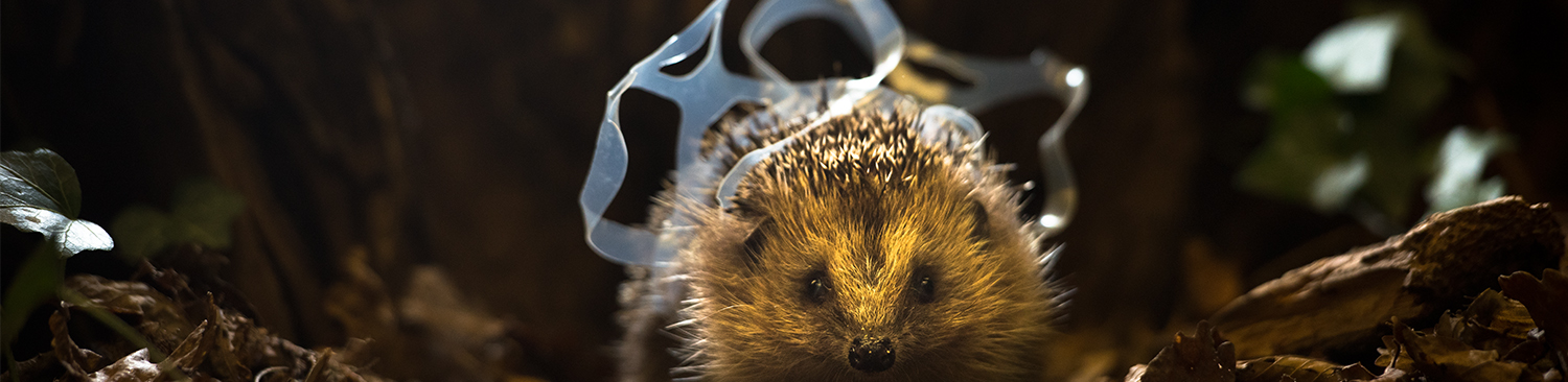 An image of a hedgehog stuck in plastic ring photographed by Chris Packham