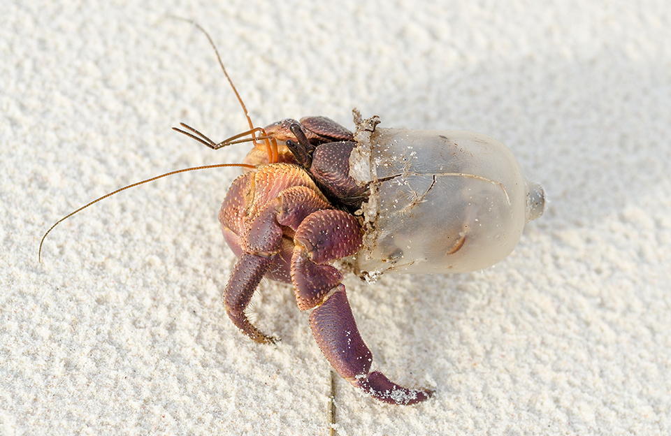 An image of a hermit crab in plastic
